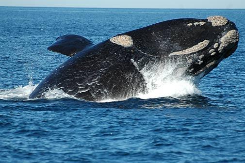 Las ballenas en el sur Argentino