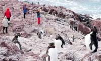 """Puerto Deseado: """"Un lugar en el mundo para los pingüinos de penacho amarillo"""""""