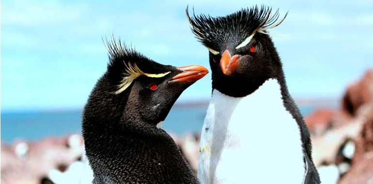 Pingüino de Penacho Amarillo: uno de los principales atractivos de la Isla Pingüino