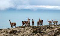¿Son los guanacos los responsables del sobrepastoreo en Patagonia?